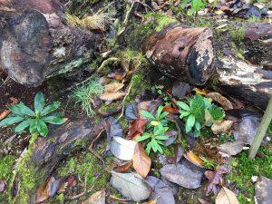 rhododendron self-sown seedlings
