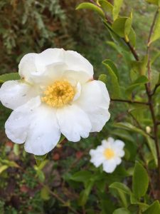 Camellia sasanqua with its first flowers. 'Setsugekka'