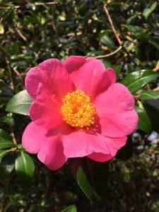 Camellia williamsii hybrids