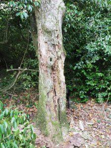 elderly rare oak