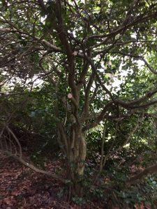 Camellia 'Mathotiana'
