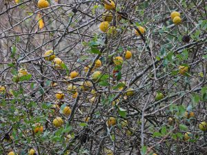 old quince