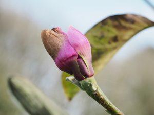 Magnolia 'Apollo'