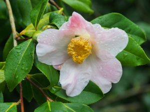 Camellia x williamsii 'JC Williams'