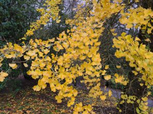 Ginkgo biloba autumn colour