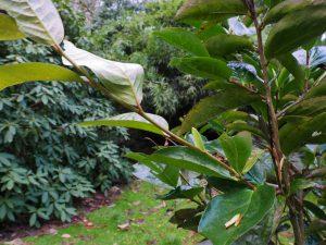 Camellia gigantocarpa