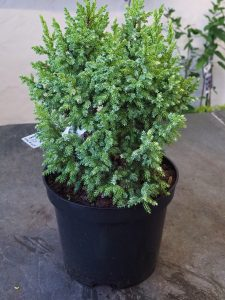 Juniperus pingii 'Hulsdonk Yellow'