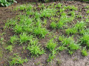 clump of garlic