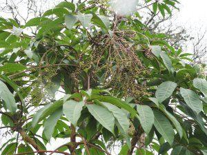 Schefflera aff. myriocarpa