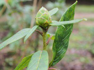 Rhododendron lindleyi