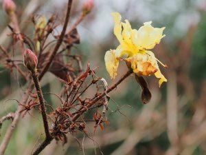 yellow deciduous azalea