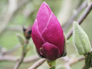 Magnolia 'Todds Fortyniner'