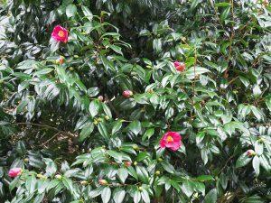 Camellia japonicas