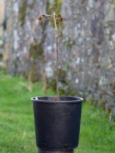 Ehreitia macrophylla