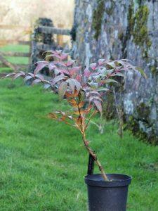 Mahonia x savilliana Clone 7