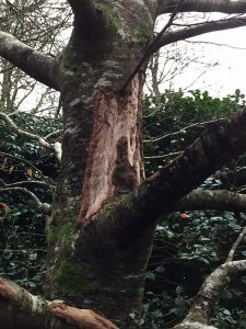 beech tree completely destroyed by bark gnawing