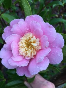 Camellia 'Sugar Dream'