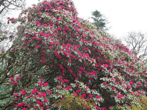 Rhododendron 'Winter Intruder'