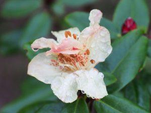 Rhododendron Golden Oriole Group - 'Busaco'