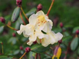 Rhododendron Golden Oriole Group - 'Talavera'