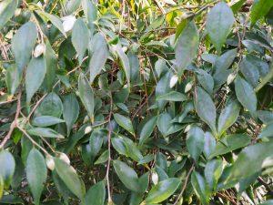 Camellia cuspidata or is it in fact Camellia lutchuensis?