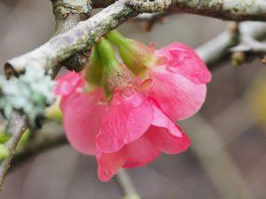elderly quince (Chaenomales speciosa?)
