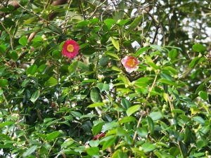 Camellia 'Adelina Patti'