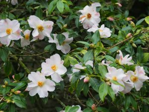 Camellia saluenensis