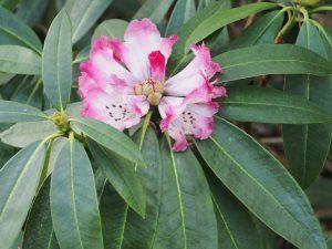 Rhododendron irrorata anthosphaerum