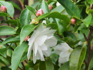 Camellia 'Cinnamon Candy'