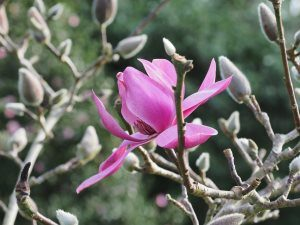 Magnolia 'Plum Pudding'