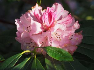 Rhododendron 'Mrs Butler'