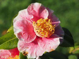 Camellia japonica 'Oo La La'