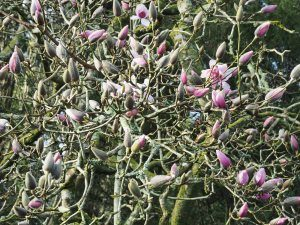magnolias through the arch