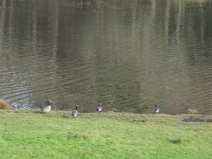 Canada geese