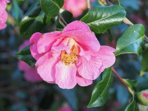 Camellia x williamsii 'Celebration'