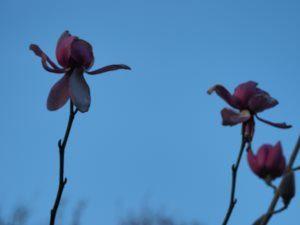 Magnolia sprengeri 'Lamellyn'