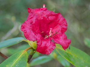 Rhododendron 'Red Admiral'