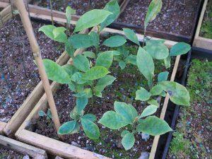 Magnolia maccleurii