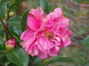 Camellia 'Fiesta Crane'