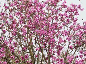 Magnolia 'FJW' seedling