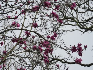 Magnolia 'Lanarth' seedling