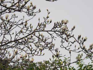 Magnolia sprengeri 'Elongata'