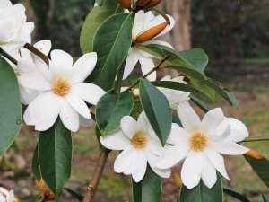 Michelia (properly Magnolia) 'Fairy White'