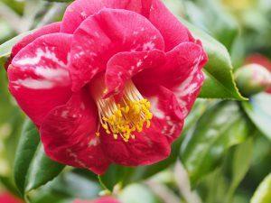 Camellia 'Doncklaeri'