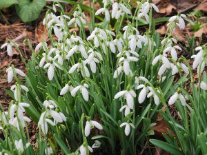 Galanthus nivalis 'Chedworth'