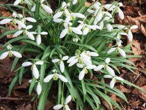 Galanthus nivalis 'Curly'