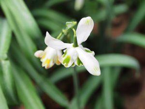 Galanthus nivalis 'Desdemona'