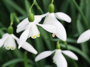 Galanthus nivalis 'Ketton'
