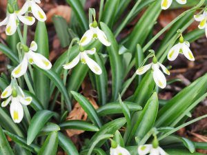 Galanthus nivalis 'Trym'